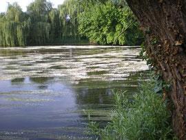 Tapis de Renoncules flottantes sur la Vézère
