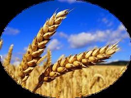 Weizengruppe