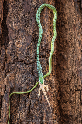 Philothamnus semivariegatus, spotted bush snake, snakes of kenya, wildlife of kenya