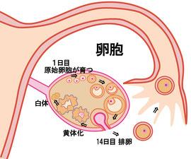 卵胞が育つ図解