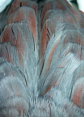 Rötlicher Schimmer auf den Flügeln