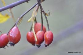 Rosa stylosa - Griffel-Rose - Rosier à styles soudés - Rosa con stili saldati - Wildrosen - Wildsträucher - Heckensträucher - Artenvielfalt - Ökologie - Biodiversität - Wildrose