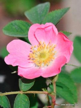 Rosa mollis - Weiche Rose - Rosier à feuilles molles - Rosa a foglie flosce - Wildrosen - Wildsträucher - Heckensträucher - Artenvielfalt - Ökologie - Biodiversität - Wildrose
