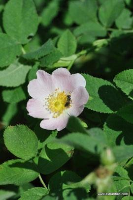 Rosa chavinii - Chavins Rose - Rosier de Chavin - Rosa di Chavin - Wildrosen - Wildsträucher - Heckensträucher - Artenvielfalt - Ökologie - Biodiversität - Wildrose