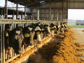 Kühe im Fressgitter