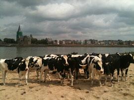 Rinder vor Emmerich