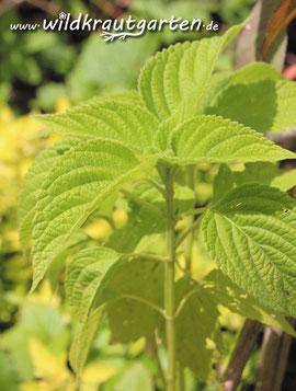 Chia-Pflanze (Foto Mandy Bantle)