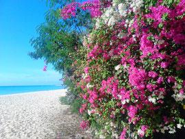 Blumenpracht auf Barbados
