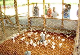 食糧の自給を目指し学校で養鶏を開始