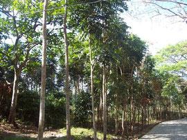 背の高い木が立ち並ぶフォレストパーク