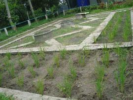 穴に種を入れて育ってきた稲の様子