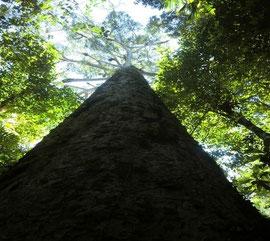 パプアニューギニアでもこうした大木に出会えることは珍しくなってきました。高さ50m超 直径1m85cmもある大木です。