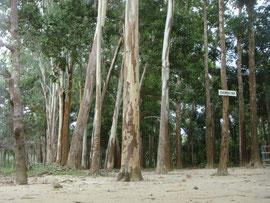 1993年に植えたユーカリの木