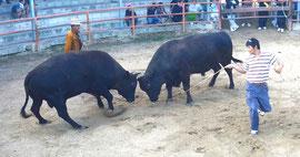 軽量級の牛が試合するとともにタレントも登場し、ファンらを楽しませた大会=八重山闘牛場、登野城