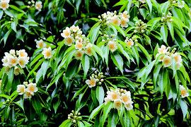 白い花を咲かせるイジュ。梅雨時の花として知られ、これから見ごろを迎える=7日午前、県道富野大川線