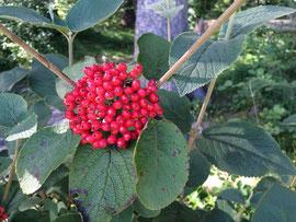 rote Beeren und grüne Blätter