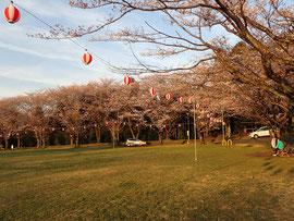 桜開花 八王子 2018 白山神社
