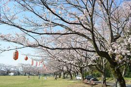 八王子 北野台 白山神社公園 桜開花状況 2015年3月31日