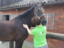 Lymphdrainage beim Pferd
