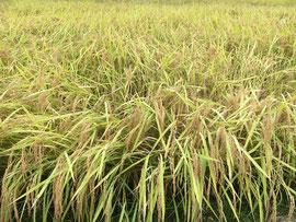 刈り入れを待つ稲