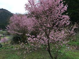 福がかさなる八重桜