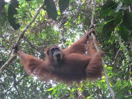 Orang-Utan (malaiisch für Waldmensch)