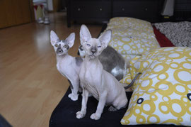 Danke an PurrfectWonder Peterbald Cattery