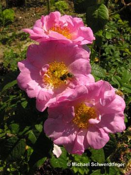 Rosa gallica ´San Nicholas´