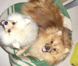 Ayumi y Kohakku de Candy Pomerania