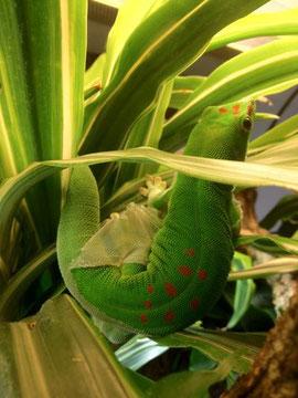 Phelsuma grandis Der grosse Madagaskar Taggecko bei der Häutung