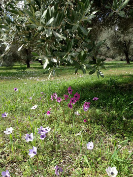 Our olive grove in the spring.