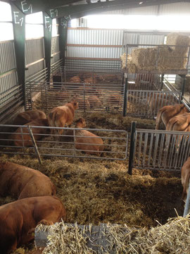 Limousin im Tretmiststall
