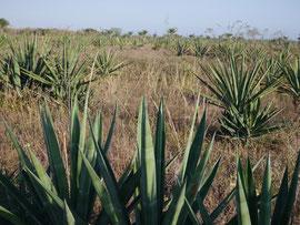 Agavepflanzung zur Gewinnung von Sisal