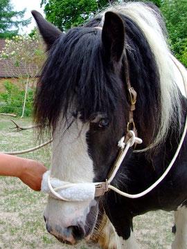Nachdenklich-konzentriertes Pferdegesicht