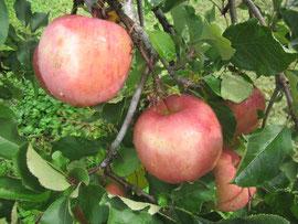 ↑たわわに実ったりんご。美味しそうです