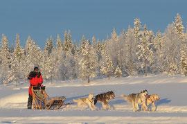 Huskytouren in Lapplandnoch vor Weihnachten erleben