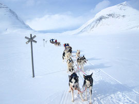dogsledding  in the  swedish  mountains