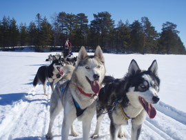 dogsledding  in lappland