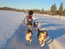 Dogsledding  in Laplands wilderness