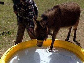 Esel gehen nicht gern durch Wasser