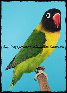 aviario miguel granada, personata verde ancestral, personatus green wildtype, agapornis