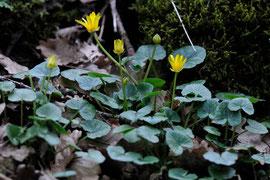 Ranunculus ficaria subsp. bulbilifer Lambinon - Aslonnes (86) - 13 /03/2011