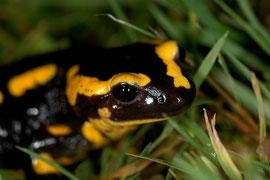 Salamandre tachetée - Normandie - Décembre 2006