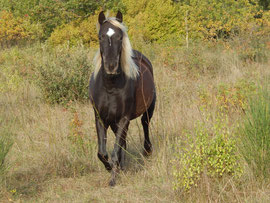 dusty mountain ranch rocky mountain horse montpellier france etalon chaval hongre jument poulain pouliche chevaux noir chocolat taffy à vendre vente vends prix tarif dusty's mountain azura gait amble