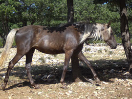 dusty mountain ranch rocky mountain horse montpellier france etalon chaval hongre jument poulain pouliche chevaux noir chocolat taffy à vendre vente vends prix dusty mountain angel tolt gait amble