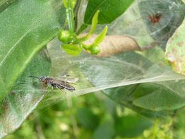 クモの巣に虫が飛んできた!