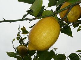 うまそうなレモン