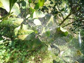 虫をつかまえるクモの巣