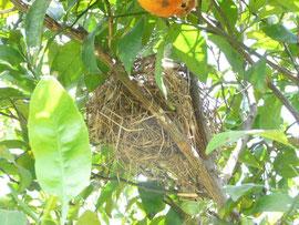 鳥の巣を発見!