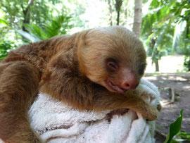 Ein Faultier-Baby - aufgefunden und aufgepäppelt von den Sutter's
